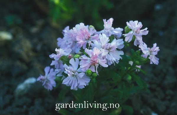 Smelle, Henge- 'Peach Blossom' - Silene pendula
