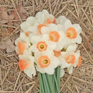 Bilde av Påskelilje 'Pink Charm' - Narcissus - 10 stk