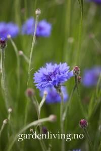 Bilde av Kornblomst 'Midget Blue', lav - Centaurea cyanus