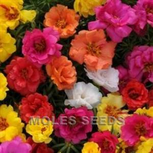 Bilde av Prydportulakk 'Happy Hour' F1 - Portulaca grandiflora