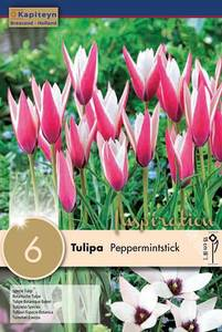 Bilde av Clusiustulipan 'Peppermintstick' - Tulipa clusiana - 6 stk