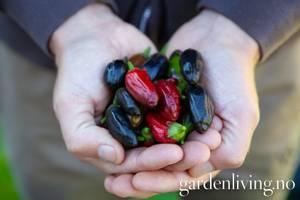 Bilde av Chilipepper 'Pot Black' - Capsicum annuum Nyhet!