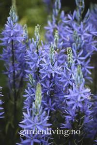 Bilde av Bjørnestjerne 'Caerulea' - Camassia leichtlinii - 2 stk
