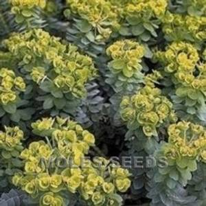Bilde av Vortemelk - Euphorbia mysinites