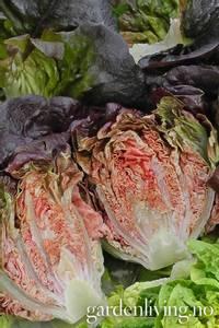 Bilde av Salat, Romano 'Little Gem Intred' - Lactuca