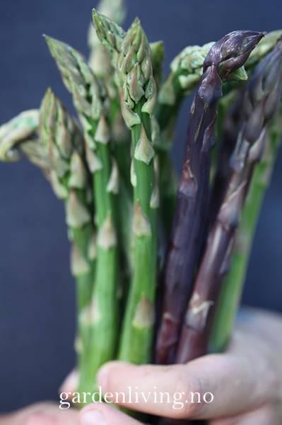 Asparges 'Pacific Purple' - Asparagus officinalis