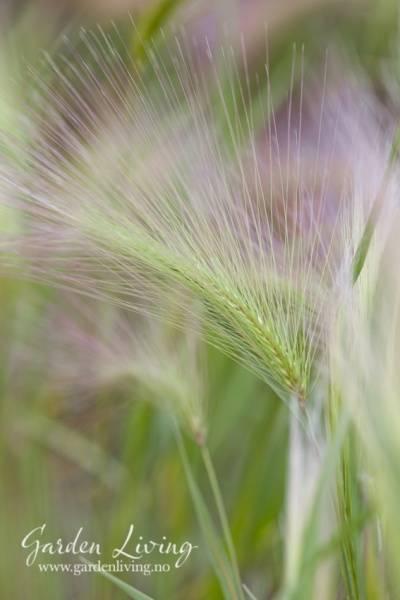 Silkebygg - Hordeum jubatum