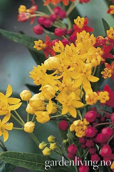 Flammesilkeurt 'Silky Gold'- Asclepias curassavica