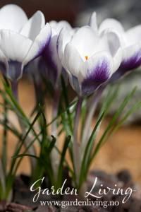 Bilde av Begerkrokus 'Prins Claus' - Crocus chrysanthus - 25 stk