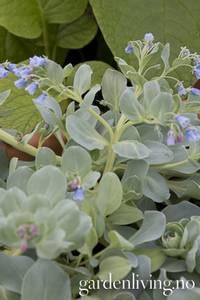 Bilde av Østersurt 'Oyster Leaf' - Mertensia maritima