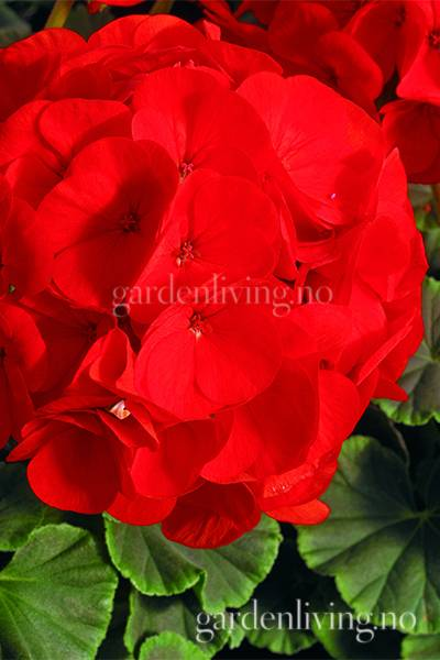 Pelargonium 'Bulls Eye Scarlet'