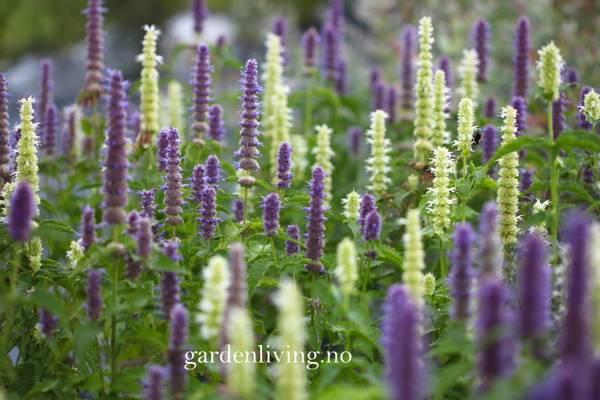 Anisisop 'Blue and White Mixed' - Agastache foeniculum