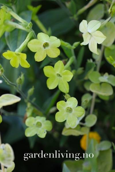 Tobakk, pryd- 'Lime Green' - Nicotiana x sanderae