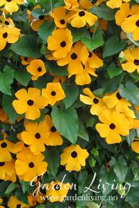 Bilde av Vingethunbergia