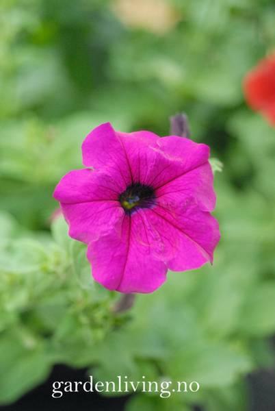 Petunia 'Lady Purple' F1
