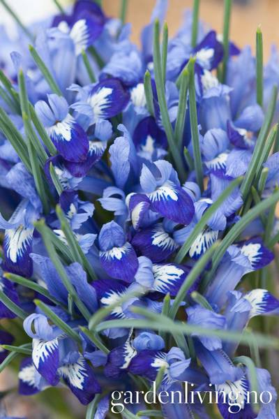 Våriris 'Clairette' - Iris - 10 stk