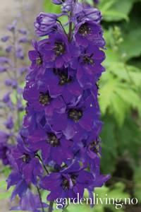 Bilde av Ridderspore 'Magic Fountains Dark Blue/Dark Bee' -