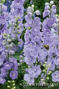 Bilde av Ridderspore 'Magic Fountains Lavender' - Delphinium