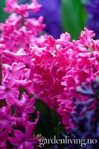 Bilde av Svibel 'Jan Bos' - Hyacinthus - 4 stk