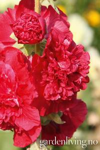 Bilde av Stokkrose 'Chater's Double Scarlet' - Alcea rosea