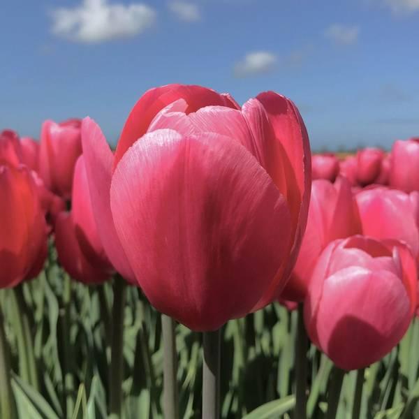 Tulipan 'Sissi', Triumph - 10 stk