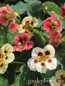 Bilde av Blomkarse 'Little Ladybugs' - Tropaeolum majus