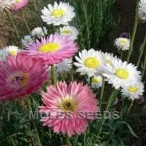 Bilde av Rosesolvinge 'Mixed' - Helipterum roseum