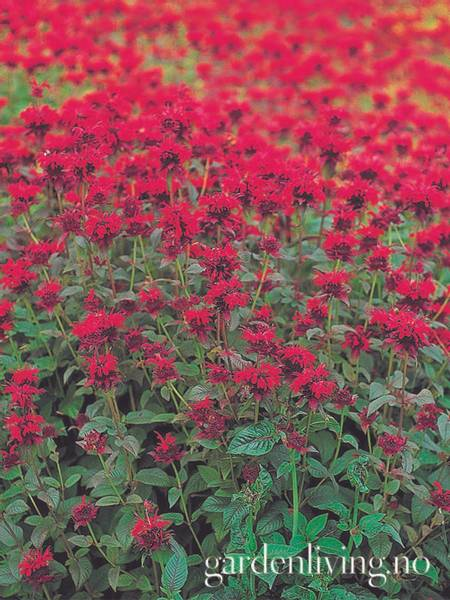 Etasjeblomst 'Panorama Red' - Monarda didyma