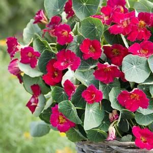 Bilde av Blomkarse 'Baby Rose' - Tropaeolum majus