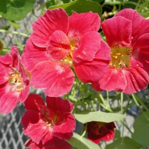 Blomkarse 'Whirlybird Cherry Rose Improved', lav - Tropaeolum ma