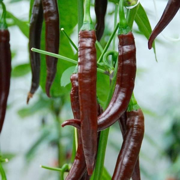 Chilipepper 'Cayenne Chocolate' F1 - Capsicum annuum