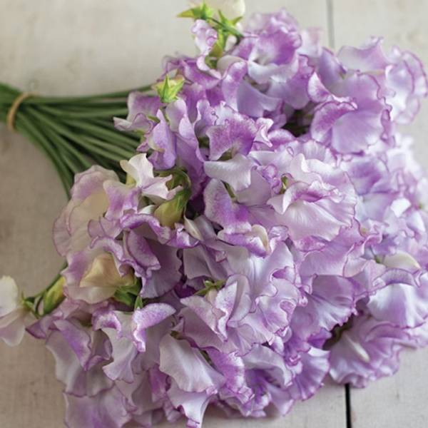 Blomsterert 'Pulsar' - Lathyrus odoratus