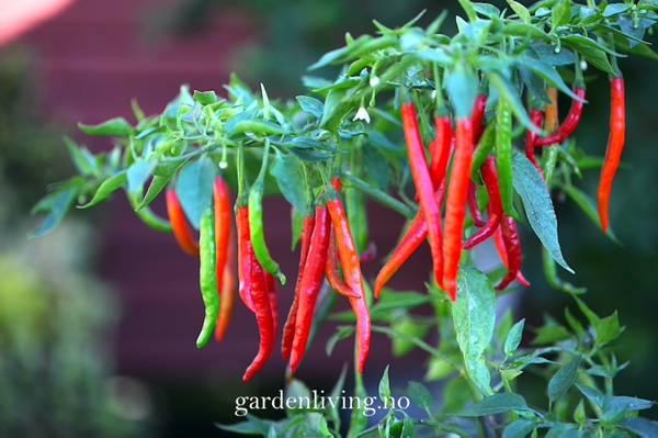 Chilipepper 'Curry Pepper' - Capsicum annuum
