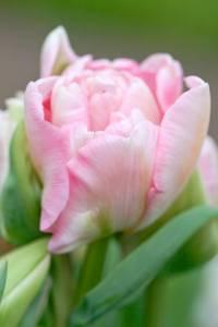 Bilde av Tulipan 'Angèlique', Sen dobbel - 8 stk