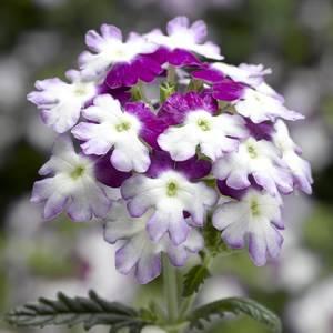 Bilde av Verbena, Hage- 'Twister Purple' - Verbena x hybrida