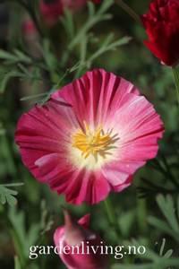 Bilde av Kaliforniavalmue 'Appleblossom Pink' - Eschschoizia