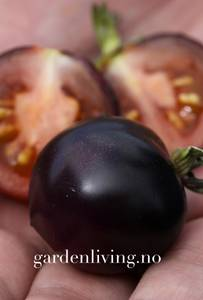 Bilde av Tomat, Drivhus- 'Indigo Rose'