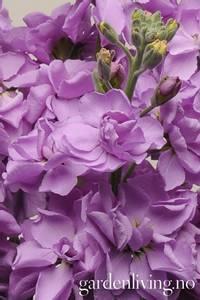 Bilde av Levkøy 'Lavender Blue Punch' - Matthiola incana