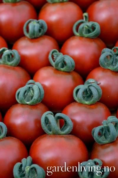 Tomat, Drivhus- 'Garnet'