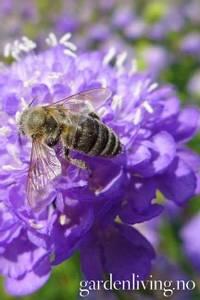 Bilde av Sørgeskabiosa 'Lavender'