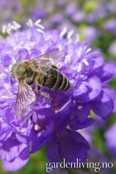 Sørgeskabiosa 'Lavender'