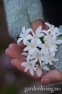 Bilde av Minnesnøstjerne 'Alba' - Chionodoxa luciliae - 18 stk