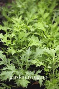 Bilde av Mizuna - Brassica rapa var. nipposinica
