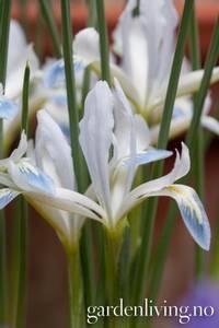 Bilde av Våriris 'Frozen Planet' - Iris reticulata - 20 stk